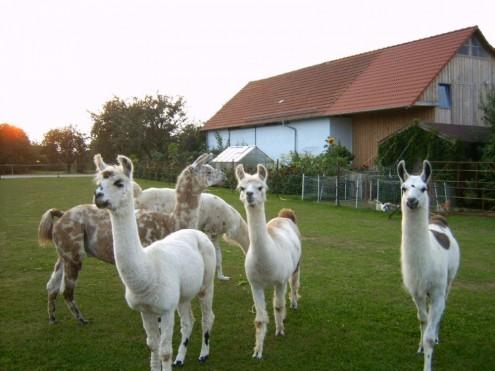 161006 Wandern mit Lamas